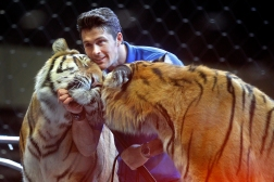 Ringling Bros. and Barnum & Bailey big cat trainer and presenter Alexander Lacey pets a tiger during a small show for military families organized by Blue Star Families at Hampton Coliseum Thursday afternoon.