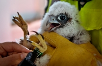 Biologists from The College of William and Mary Virginia Commonweather University band one of two Peregrine falcon chicks atop the James River Bridges north tower Monday.