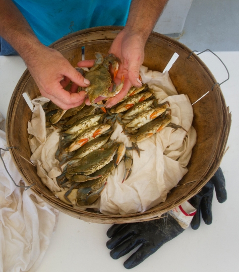 Ken Diggs, Jr. arranges soft-shell crab in a basket after a morning of crabbing on the James River.