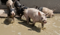 Berkshire mix hogs splash in a puddle in their pen at Windhaven Farm in Windsor.