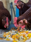 Hampton Backyard Chickens