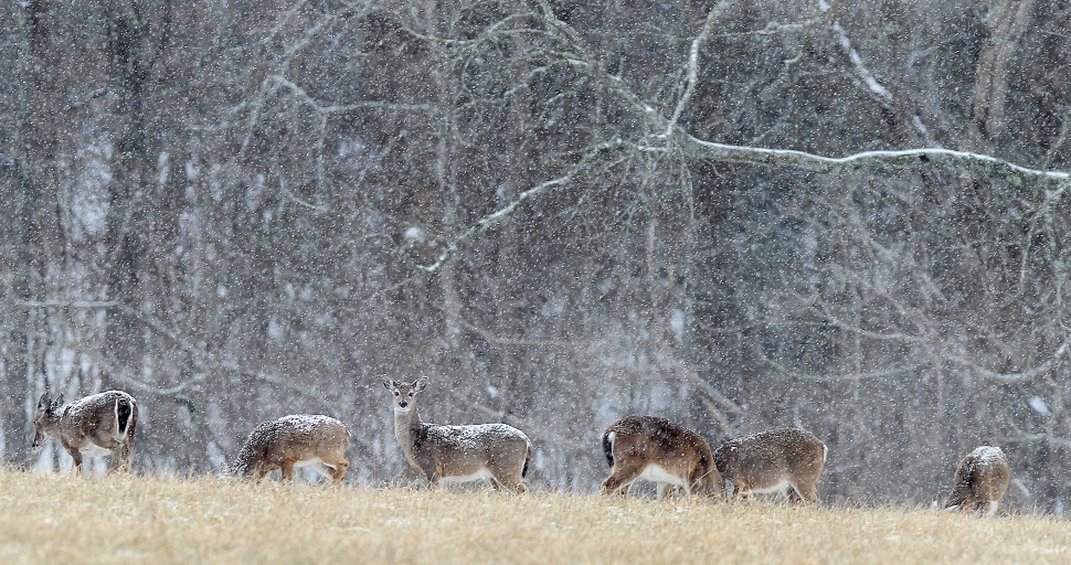 A large group of deer graze Tuesday as a steady snow comes down on a field near Endview Plantation Tuesday afternoon. (Rob Ostermaier)