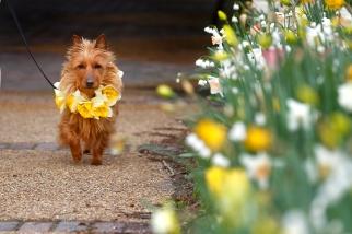 daffodilFestival3
