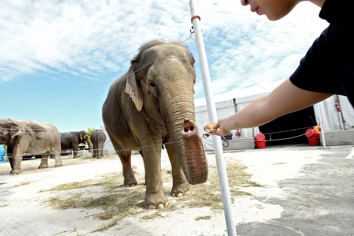 Ringling Bros And Barnum Amp Bailey Circus Elephants