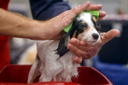 Tyler Mills washes a seven-month-old papillon during Saturday's Virginia Memorial Day Cluster All-Breed Dog Show at the Hampton Roads Convention Center. The event featured judging, vendors and a junior showmanship clinic.