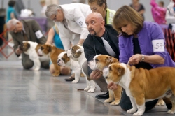 Alin Retezatu, center, displays his bulldog to a judge during Saturday's Virginia Memorial Day Cluster All-Breed Dog Show at the Hampton Roads Convention Center. The event featured judging, vendors and a junior showmanship clinic.