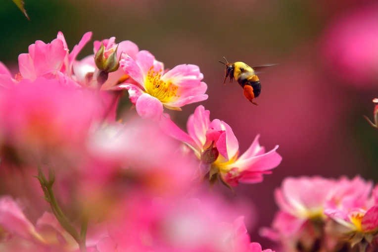 A bee flies amongst flowers on the campus of Christopher Newport University Tuesday afternoon. (Photo by Jonathon Gruenke / Daily Press)