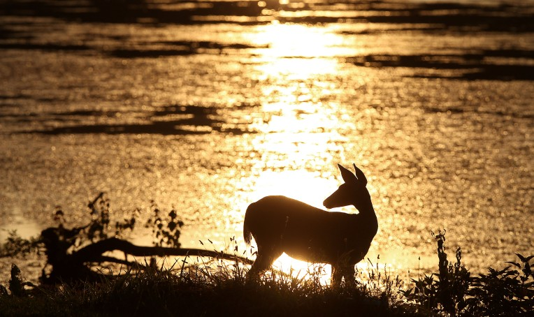 A doe pauses to look around as she grazes Tuesday evening near the reservoir at Newport News Park.