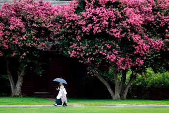 A Colonial Williamsburg reenactor walks beneath an umbrella between two crepe myrtle trees Saturday afternoon. (Jonathon Gruenke)