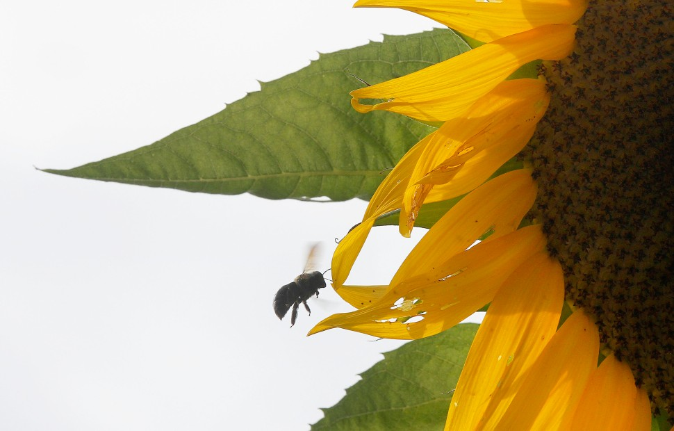 A bee goes to work on one of the giant sunflowers near the Colonial Williamsburg vegetable garden on Duke of Gloucester Street Wednesday.
