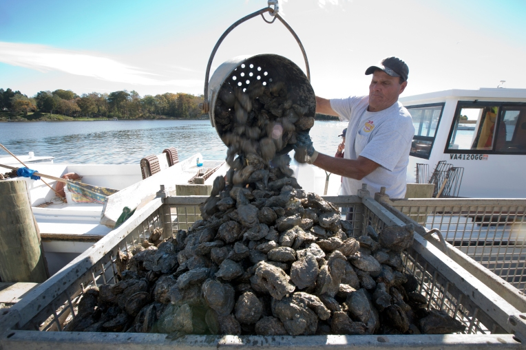 Ronnie Collier dumps a bushel of oysters into a bin on Deep Creek in Newport News, Va. Nov. 11, 2015. Gov. McCauliff announced numbers Tuesday showing a 24% increase in the 2014 oyster harvest.