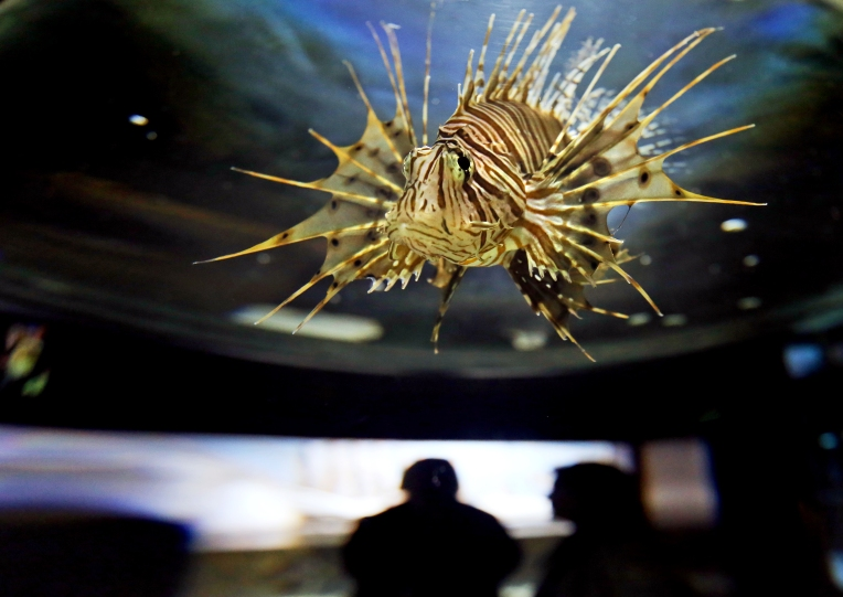 A Lionfish swims in a tank on display at the Virginia Living Museum. The Lionfish is a prolific, intriguing specimen with venomous spines and no natural predators which makes them invasive to the Chesapeake Bay and could eventually pose a threat. Thursday, Dec. 10, 2015.