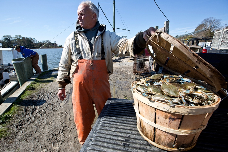 Second week of 2016 Crab season, area watermen are saying that there are good signs that this might be a good year for crabs. At Menchville Marina watermen bring in their catch today. Watermen from Poq. (Left) John Forrest and (Right) Roger Hastings offload their catch from the James River.
