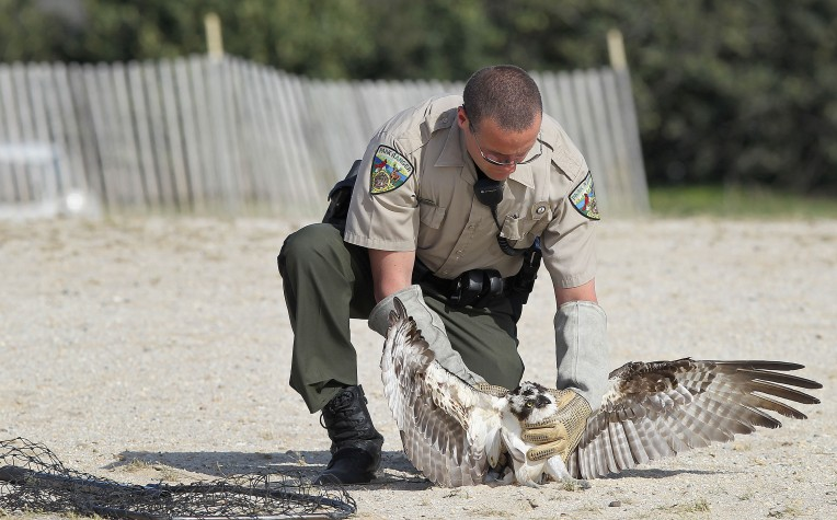 Newport News park ranger Bryan Dollyhigh evaluates the health of an osprey that according to witnesses crash landed at Huntington Beach Monday. The bird will be taken to an emergency animal clinic for further health checks.