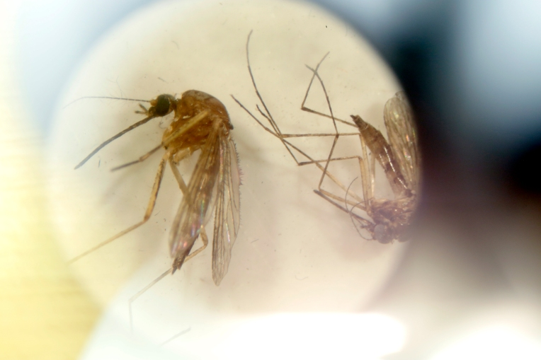 DP mosquito3