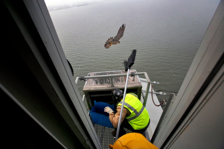 Bryan Watts, director of the Center for Conservation Biology, removes baby peregrine falcons from a nest atop the James River Bridge as Marian Watts holds a broom to ward off an adult peregrine falcon Friday morning May 13, 2016. Three chicks were banded and will be transported to the mountains of Virginia to be released into the wild.