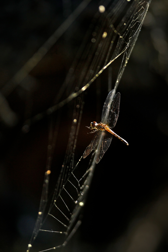 A dragonfly is seen trapped in a spider web at Newport News Park Wednesday afternoon June 29, 2016.