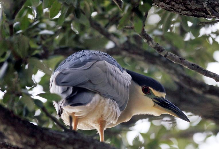 Hampton Night Heron
