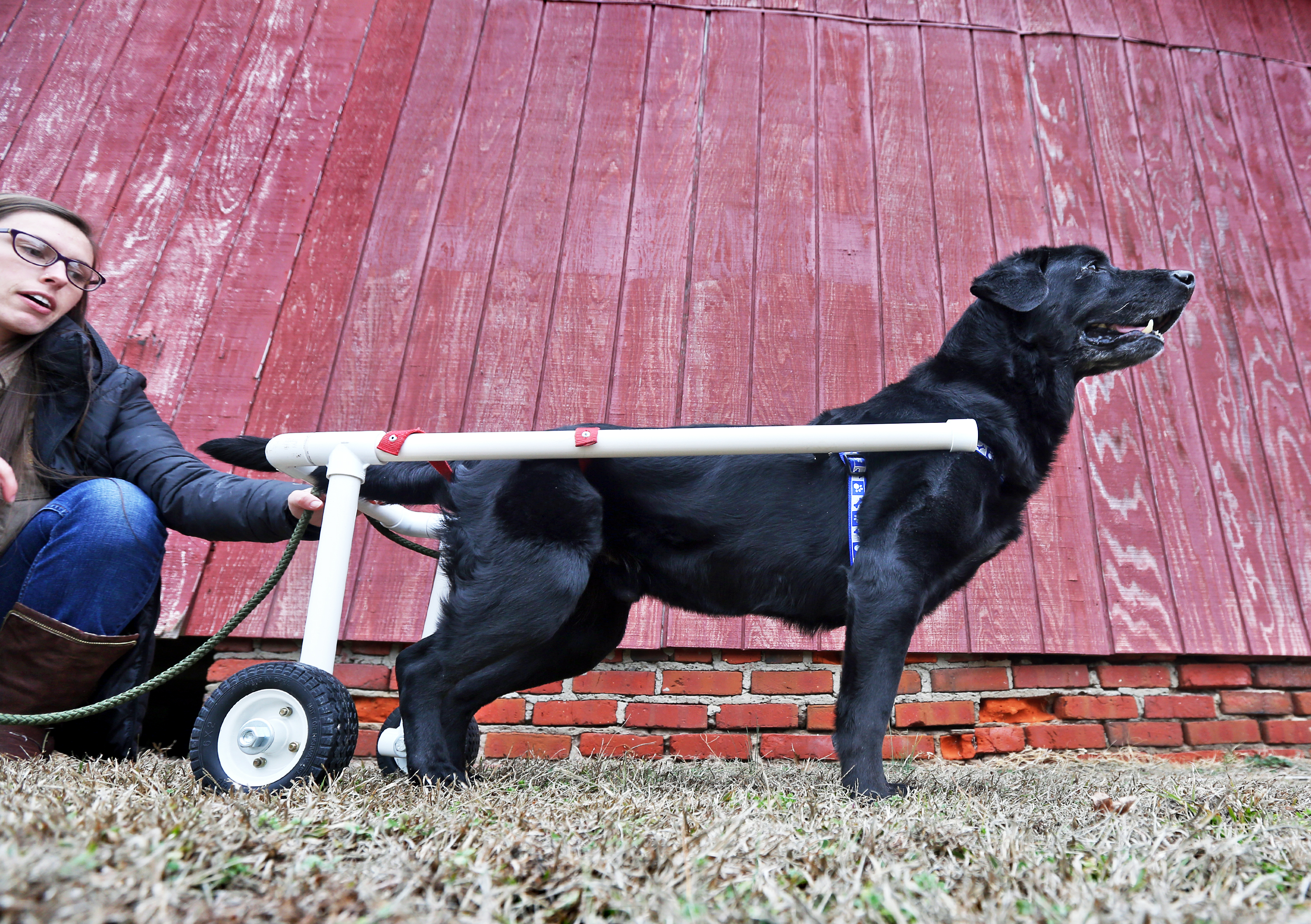 Ramsey The Wheelchair Bound Labrador Fullframe
