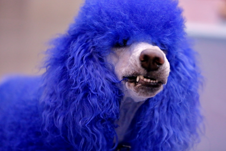 Vickie Piva's standard poodle, Rooney, walks through the crowd gathered at the Hampton Roads Convention Center during Saturday's World of Pet Expo and Educational Experience February 18, 2017. The event featured educational sessions, demonstrations, pet costume contests and products for sale.