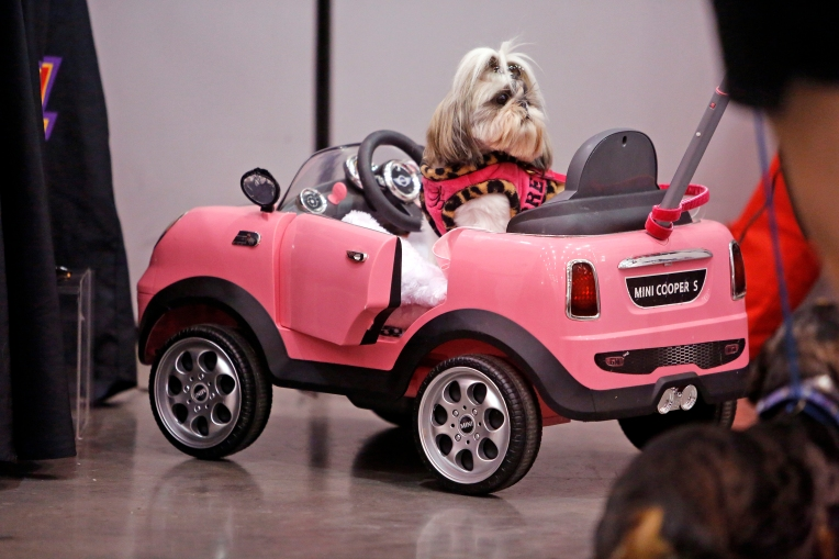 Regina Stafford's shih tzu, Her Majesty Brie Brie Elizabeth, sits in a car at the Hampton Roads Convention Center during Saturday's World of Pet Expo and Educational Experience February 18, 2017. The event featured educational sessions, demonstrations, pet costume contests and products for sale.