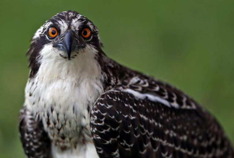 Poquoson Osprey