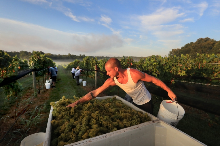 Hurricane Dorian Grape Harvest